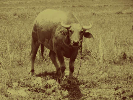 veldt: buffalo yellow effect old animal closeup wildlife Stock Photo