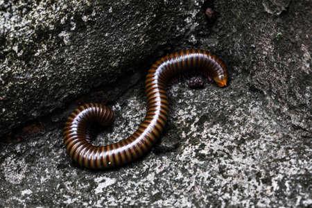 millipede Diplopoda bug closeup Reklamní fotografie