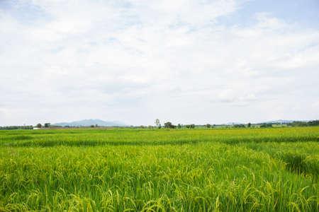 rice field paddy sky clouds