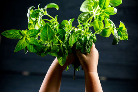 Beautiful fresh green Basil in the hands of children 版權商用圖片