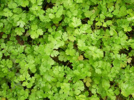 organic fresh coriander cilantro herb sprouts. fresh coriander leaves vegetable farm Stock Photo