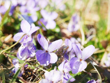 Purple violets in the springtime. Foto de archivo