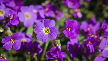 Purple clover on a rock-garden full of flowers.
