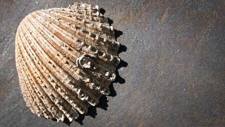 Old Sea shell on a grey stone. Foto de archivo