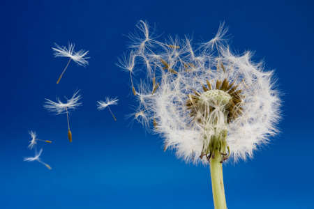 Dandelion seeds being blown in the wind Stock Photo