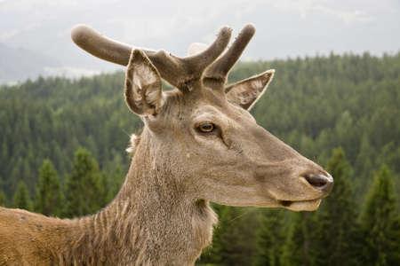 Wild red deer deep in an Austrian forest photo