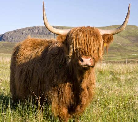Scottish highland cow on the Isle of Skye Stock Photo - 3136690
