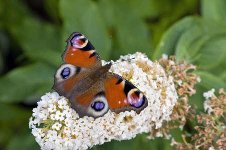 peacock butterfly: Peacock mariposa descansando en un blanco Buddleia