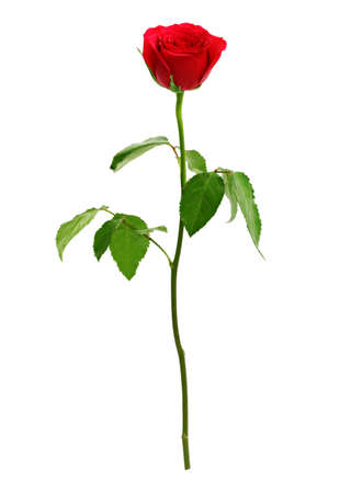 red rose: Red rose isolated on white. Love, romance and valentines day