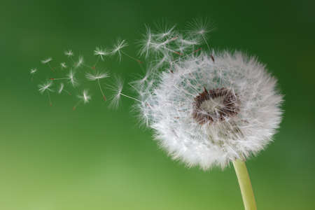 Dandelion seeds in the morning mist blowing away across a fresh green background Stock Photo