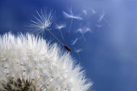 Diente de león con semillas soplando en el viento sobre un cielo azul