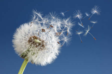 wind up: Dandelion with seeds blowing away in the wind across a clear blue sky
