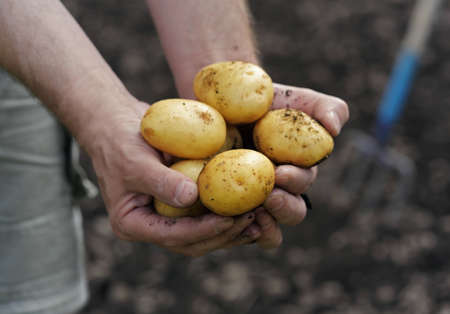 potato field: Handful of fresh harvested potatoes