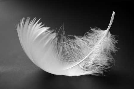 cisnes: Pluma blanca sobre fondo negro Foto de archivo