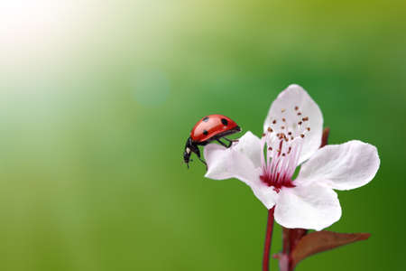 Ladybird and cherry blossom with green  photo