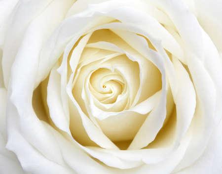 美しい完璧な白いバラの花頭 写真素材