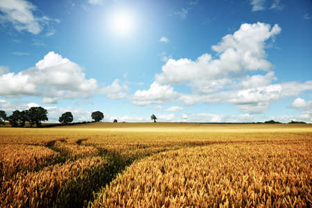 Golden summer landscape, wheat farm field with blue sky and cloudscape photo