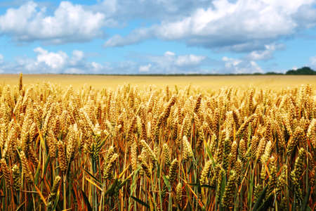 Golden summer landscape - wheat field with blue sky and cloudscape photo