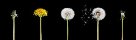 4 stage of a dandelion combined into one image isolated on black background Фото со стока