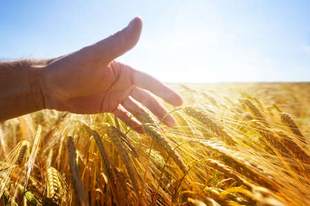 Farmer touching his crop with hand in a golden wheat field concept for harvesting, organic farming and summer autumn season