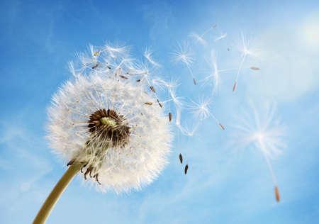 澄んだ青い空を横切って、風の吹く朝の陽光にタンポポの種