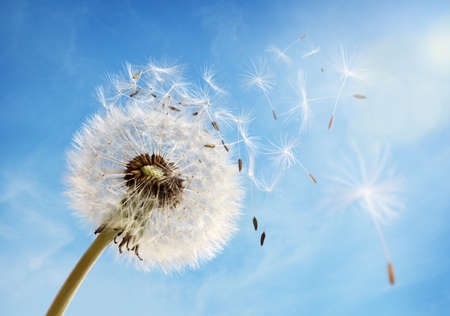 Dandelion seeds in the morning sunlight blowing away in the wind across a clear blue sky 版權商用圖片