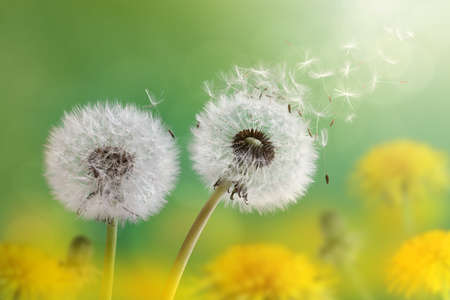 pollination: Dandelion seeds in the morning sunlight blowing away across a fresh green background
