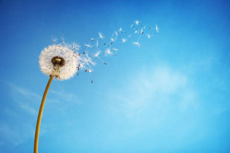 with pollen: Dandelion with seeds blowing away in the wind across a clear blue sky with copy space Stock Photo