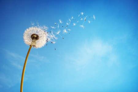 Paardenbloem met zaden waait weg in de wind over een heldere blauwe hemel met een kopie ruimte