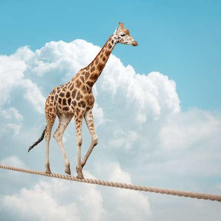 Giraffe balanceren op een koord concept voor risico, veroveren tegenspoed en prestatie