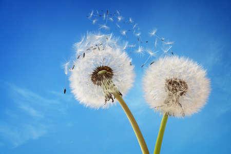 Diente de león con semillas soplando en el viento a través de un cielo azul claro con espacio de copia