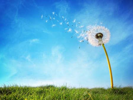 libertad: Diente de le�n con semillas soplando en el viento a trav�s de un cielo azul claro con espacio de copia