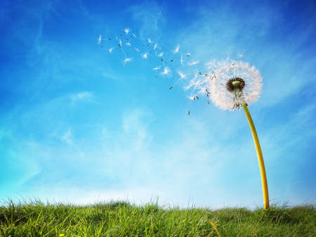 Löwenzahn mit Samen weht im Wind weg über einen klaren, blauen Himmel mit Kopie Raum