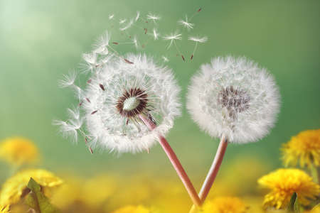 with pollen: Dandelion seeds in the morning sunlight blowing away across a fresh green background