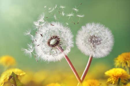 campo de flores: Semillas de diente de le�n en el sol de la ma�ana vuele a trav�s de un fondo verde fresca