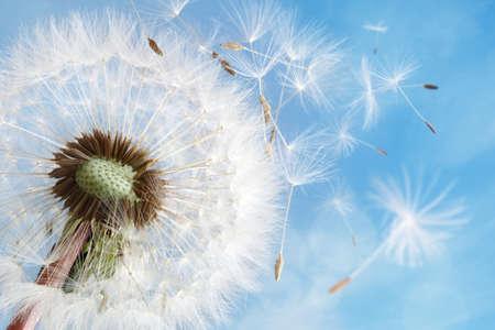 Paardebloem zaden in de ochtend zonlicht waait weg in de wind over een heldere blauwe hemel