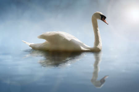mute swan: Swan in the morning sunlight with reflections on calm water in a lake Stock Photo