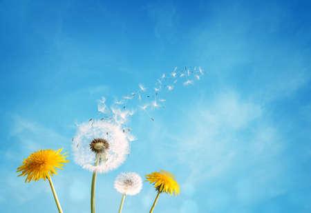 コピー スペースと澄んだ青い空を横切って風で吹く種タンポポ