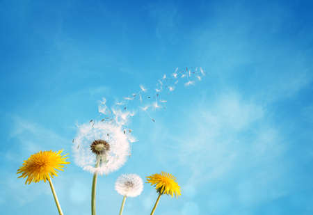 Dandelion with seeds blowing away in the wind across a clear blue sky with copy space 스톡 콘텐츠