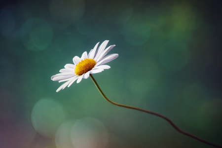 Daisy or camomile isolated nature background
