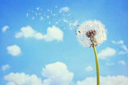 Dandelion with seeds blowing away in the wind across a clear blue sky with copy space 写真素材