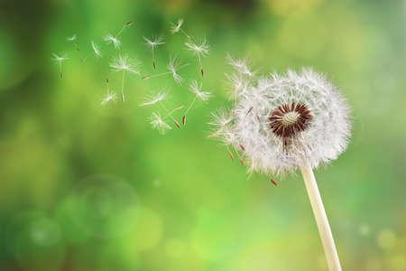semilla: Semillas de diente de león en el sol de la mañana vuele a través de un fondo verde fresca