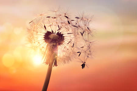 Dandelion silhouette against sunset with seeds blowing in the wind 版權商用圖片 - 61385930