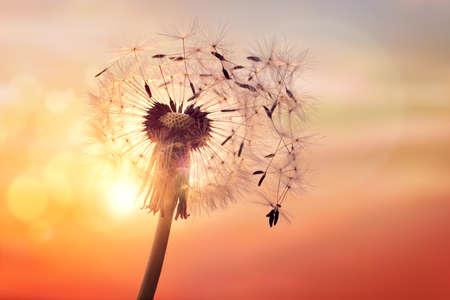 silueta de diente de león contra puesta del sol con las semillas en el viento