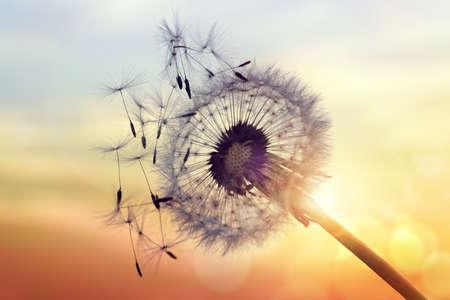 Pampeliška silueta proti západu slunce se semeny vlající ve větru