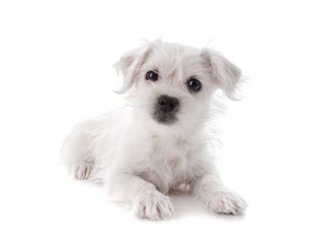 highland: Maltese Westie or West Highland Terrier puppy isolated on white background Stock Photo