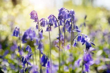 Bluebells hyacinthoides Nicht-scripta Frühling Natur Hintergrund Lizenzfreie Bilder
