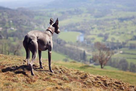 Whippet Hund Porträt in der Natur Blick über die Felder in die Ferne
