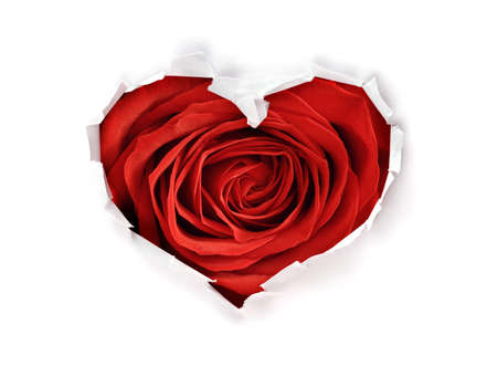 White torn paper in heart shape symbol with valentines day red rose background