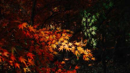 maple leaves Reklamní fotografie